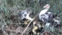 Gaziantep'te Yavru Kedi ve Ördeklerin Kıskandıran Dostluğu