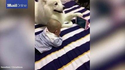Chó Samoyed siêu dễ thương, cầm điện thoại cho bé trai xem hoạt hình