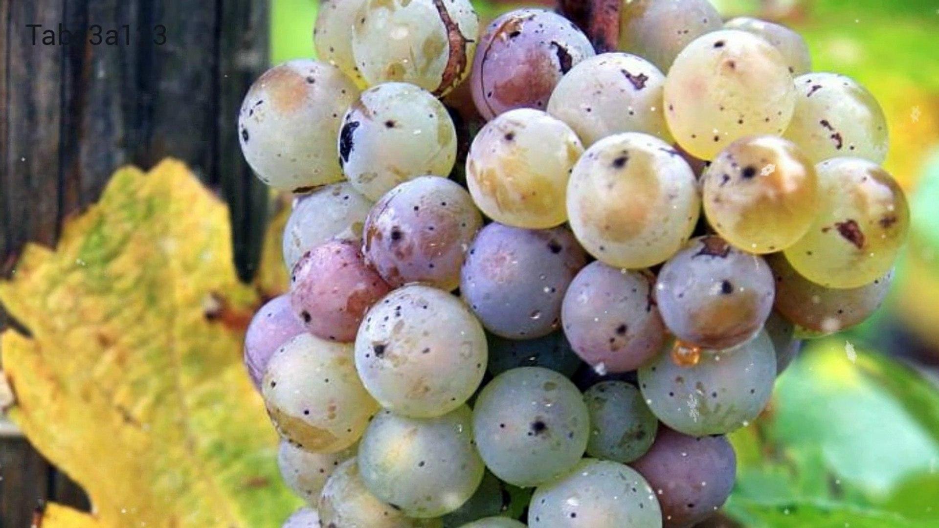 مرض العفن الرمادي في ثمار العنب