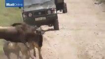 Ce lion a une technique incroyable pour approcher ce troupeau de buffles