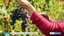 Muscat du Ventoux : un raisin d'exception