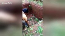 Mother hen terrorises boy who gets too close to her chicks
