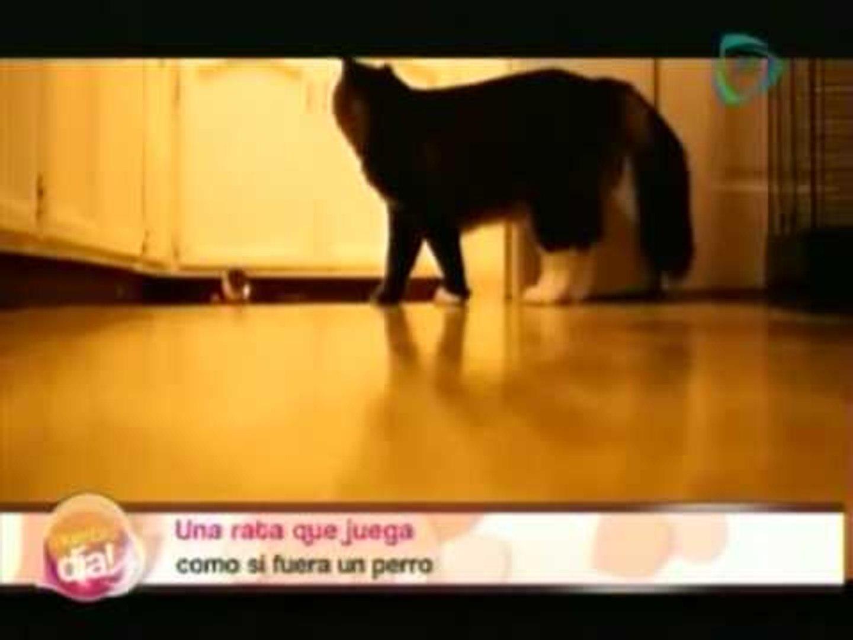 Rata juega como perro / videos de animales graciosos / videos sorprendentes