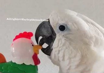 Harley the Cockatoo is Not Impressed by Noisy Toy Rooster