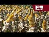 Industria del maíz sufre extorsiones en México / Excélsior informa