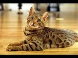 Gatos bengal, una especie diferente  // Animales exóticos