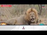 ¿Sabías que los leones son los únicos felinos que viven en manadas? | Sale el Sol