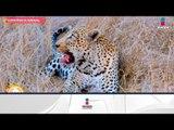 ¿Sabías que los leopardos pasan mucho tiempo arriba de los árboles? | Sale el Sol