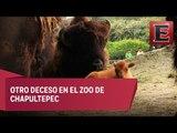 Fallece un bisonte hembra en el Zoológico de Chapultepec