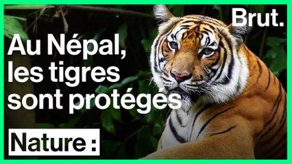 Protéger les tigres est une priorité pour le Népal