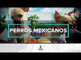 ¿Qué razas de perros son originarias de México? | Noticias con Francisco Zea