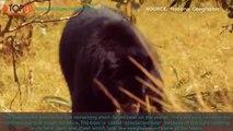 TOP 10 BIGGEST BEARS IN THE WORLD -Grizzly Bear, Kodiak Bear, Polar Bear,...