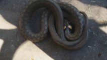 Ce serpent en panique se met à tourner dans tout les sens... Incompréhensible