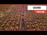 Aerial video shows massive pumpkin farm in Nottinghamshire | SWNS TV