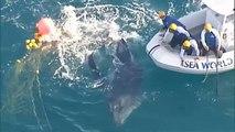Australie : sauvetage d'un baleineau prisonnier d'un filet anti-requins