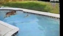 Ve a su cachorro caer en la piscina y lo rescata