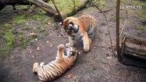 Ces bébés tigres jouent comme des petits fous... Adorable