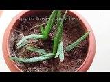 Aloe Vera Benefits - For Weight Loss - How To Extract Aloe Vera Gel At Home - DIY Aloe Vera Juice