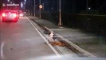 Un chien essaie de désespérément de reveiller son ami qui vient de se faire hurter par une voiture... Emouvant