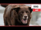 Obese Dog Shed Pounds through 'Doggy Fat Club'! | SWNS TV