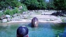 Cet hippopotame a mangé trop d'herbe... Quelques flatulences