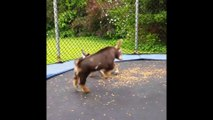 Funny Pets Jump On The Jumping Mini Trampoline Compilation