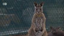 Kangurular iklim değişikliği kurbanı