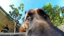 Ce berger allemand ne veut pas rendre la GoPro... Tellement drole