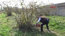 Düzce Fındık Para Etmeyince Üretici Fındık Ağaçlarını Kesti