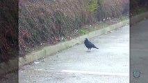 Ce corbeau partage son bout de pain avec un rat... Sympa