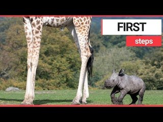 Adorable baby rhino takes first steps | SWNS TV