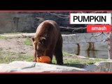 Animals at US zoo given pumpkins to play with | SWNS TV