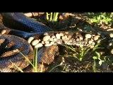 Ce serpent python est recouvert de centaines de tiques parasites