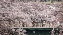 Japan's Cherry Blossom Trees Bloom 6 Months Early