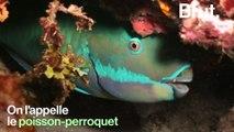 Connaissez-vous le poisson-perroquet, l'un des poissons les plus colorés de l'océan ?