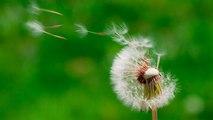 Watch: The secret of dandelion flight revealed