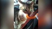 Cheeto Cat fait les bruits les plus étranges