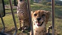 La preuve que les guépards sont juste des gros chats... Miaou