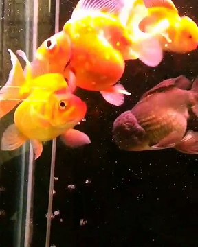 Goldfish laying eggs