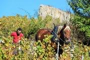 Mâconnais : des chevaux pour labourer les vignes