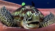 Avez-vous déjà vu une tortue de mer qui se prépare à faire la sieste