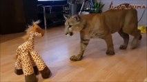 Ce puma joue avec sa peluche girafe et c'est adorable