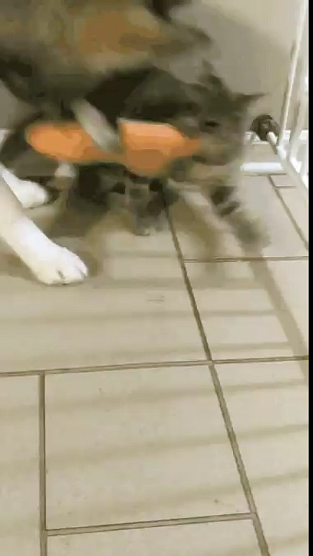 Our kitty thinks shes a match for our Husky... She just might be. - aww
