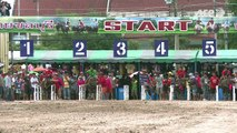 Thaïlande: courses de buffles à cheval entre rodéo et hippisme
