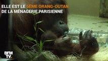 Naissance rare d'un orang-outan au Jardin des Plantes de Paris