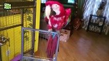 Funny Parrots Dancing Crazy Parrots Talking  [Epic Laughs]
