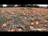 A Field of Lovely Orange Pumpkins