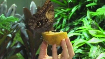 Mariposas de Ecuador o Kenia pasan el invierno en un museo de NY