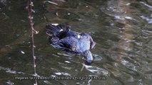 Ecologistas denuncian la nueva matanza de 240 cormoranes proyectada por el gobierno del Principado de Asturias