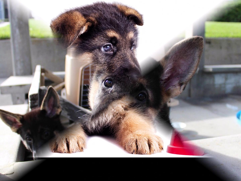 german shepherd puppy confused